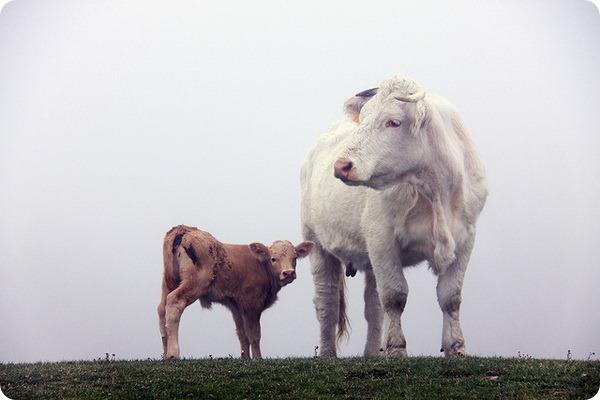 Коровы (лат. Bos taurus taurus)