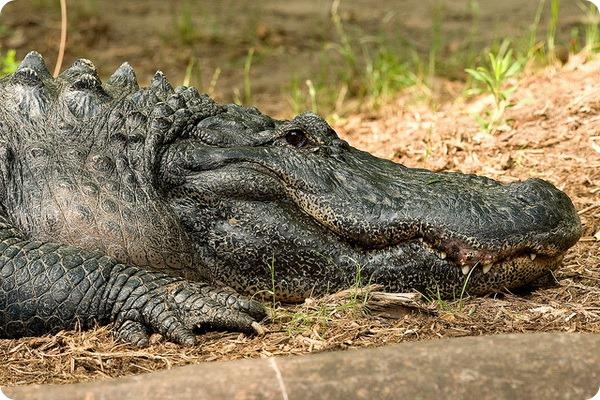 Крокодил (лат. Crocodilia)
