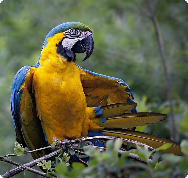 Сине-желтые ара (лат. Ara ararauna)