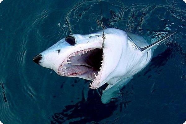 Остроносая акула-мако, или чернорылая акула, или серо-голубая сельдевая акула, или макрелевая акула (лат. Isurus oxyrinchus)