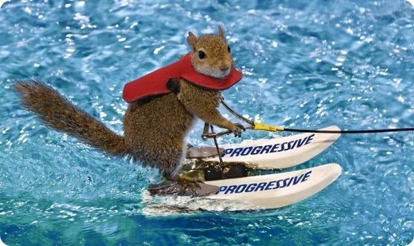 Белка, которая любит кататься на водных лыжах