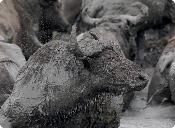 Азиатский буйвол (лат. Bubalus bubalis)