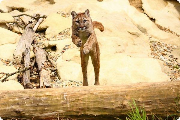 Пума, или кугуар, горный лев (лат. Puma concolor)