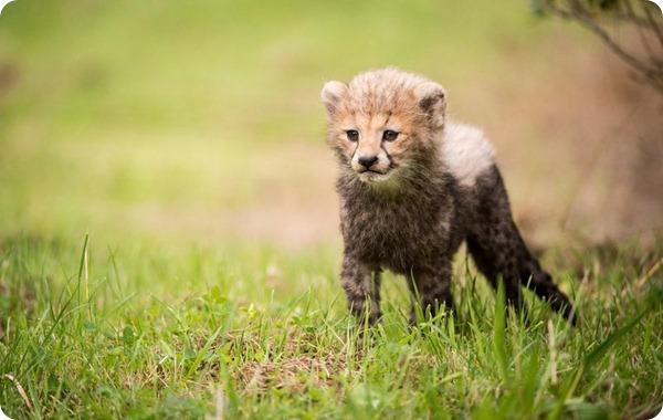 Детеныши гепарда из зоопарка Честера
