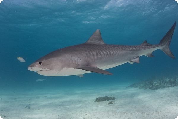 Тигровая акула, или леопардовая акула (лат. Galeocerdo cuvier)