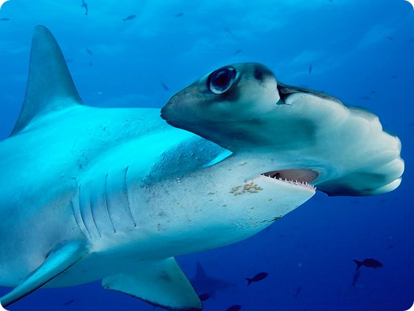 Молотоголовые акулы (лат. Sphyrnidae)