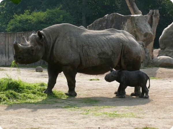 В зоопарке Крефельд родился детеныш черного  носорога