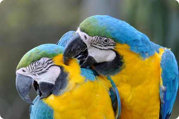 Сине-желтый ара (лат. Ara ararauna)