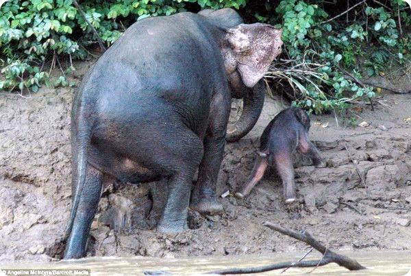 Маленькому слоненку помогла его семья