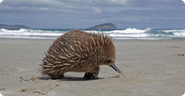 Австралийская ехидна (лат. Tachyglossus aculeatus)