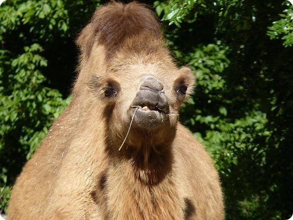 Двугорбый верблюд (лат. Camelus bactrianus)