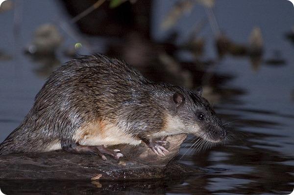 Златобрюхая, или бобровая крыса (лат. Hydromys chrysogaster)