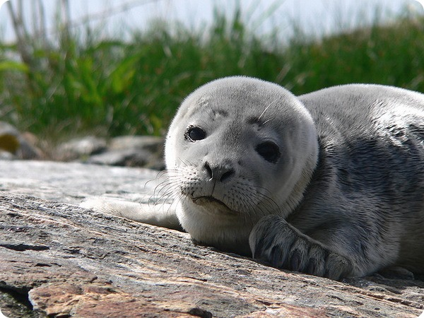 Обыкновенный тюлень (лат. Phoca vitulina)