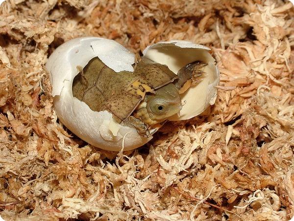 Четырехглазые черепахи (лат. Sacalia quadriocellata)