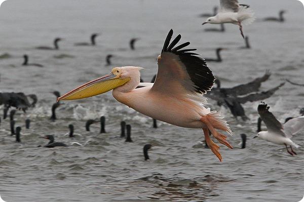 Розовые пеликаны (лат. Pelecanus onocrotalus)