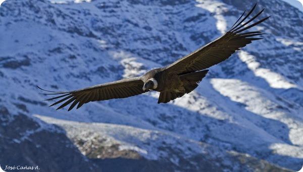 Андский кондор (лат. Vultur gryphus)