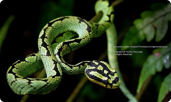 Цейлонская куфия (лат.Trimeresurus trigonocephalus)