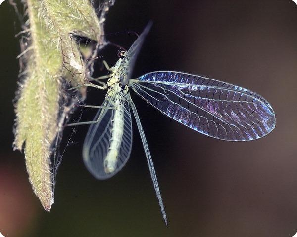 Перламутровая златоглазка (лат. Chrysopa perla)