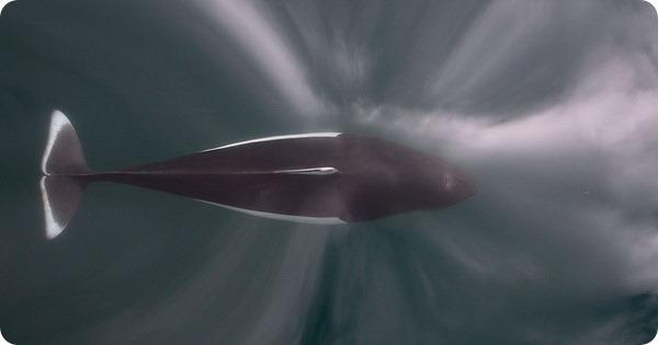 Белокрылая морская свинья (лат. Phocoenoides dalli)
