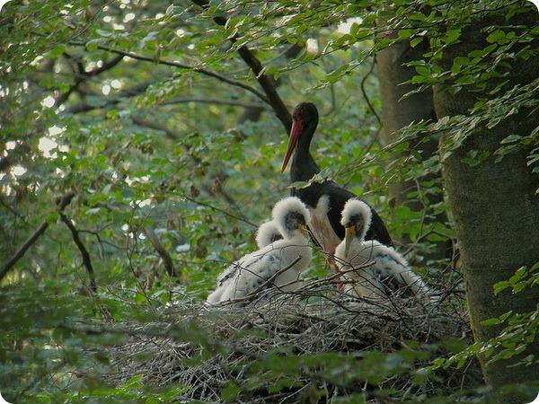 Черный аист (лат. Ciconia nigra)