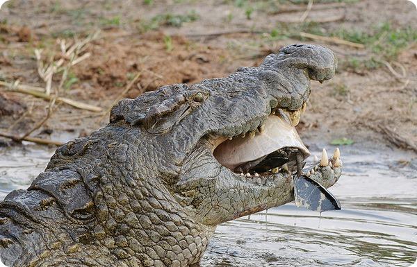 Крокодилы (лат. Crocodilia)