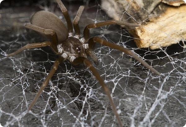Коричневый паук-отшельник (лат. Loxosceles reclusa)