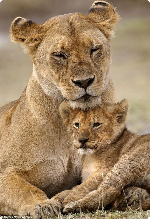 Африканские львы от Лауры Ромин и Ларри Далтона