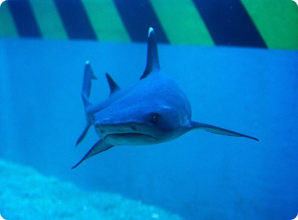 Серая акула (лат. Glyphis glyphis)