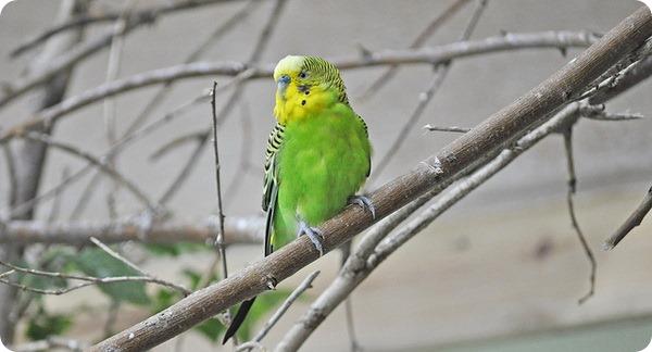 Волнистые попугайчики (лат. Melopsittacus undulatus)