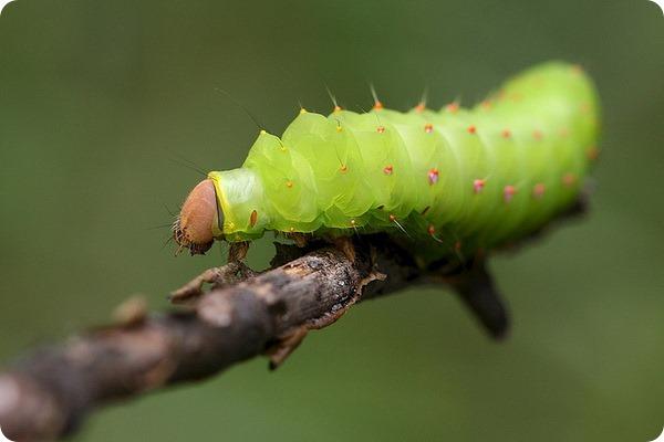 Личинка бабочки сатурнии полифемы (лат. Antheraea polyphemus)