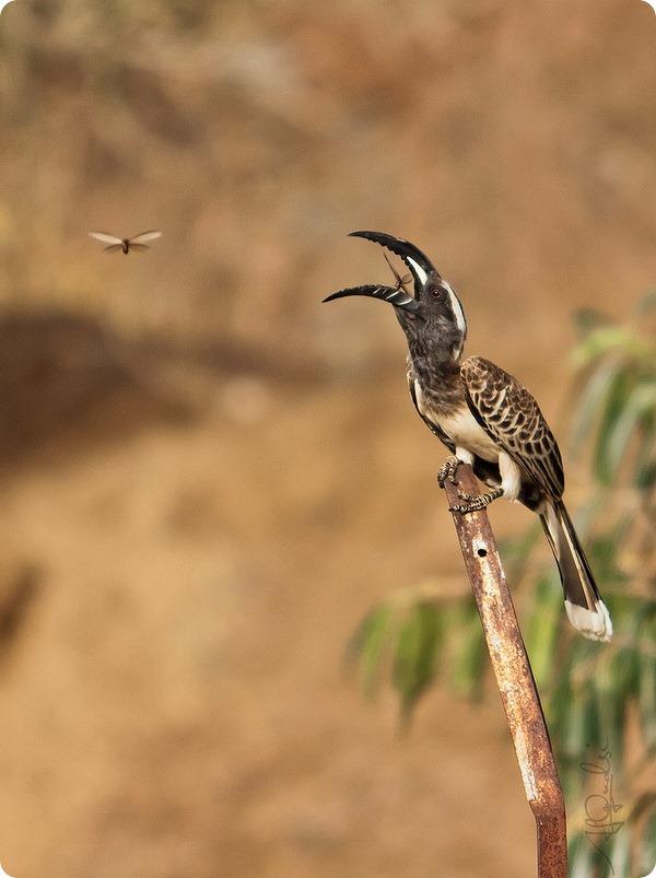 Африканский серый ток (лат. Tockus nasutus)