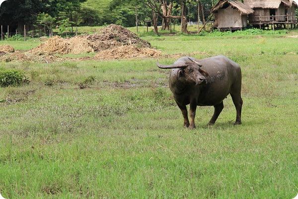 Домашний буйвол