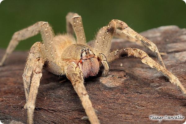 Бразильские пауки солдаты (лат. Phoneutria)