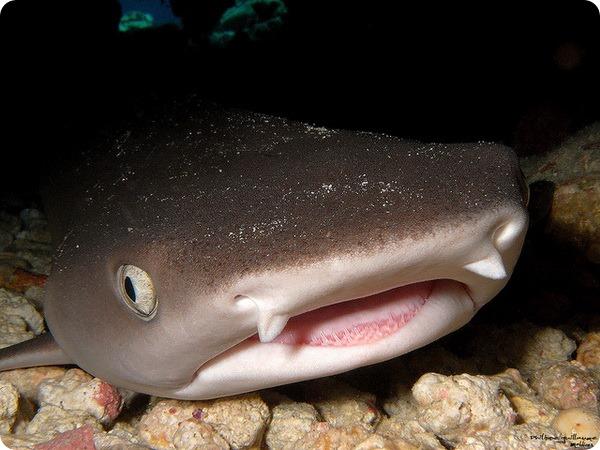 Рифовая акула (лат. Triaenodon obesus)