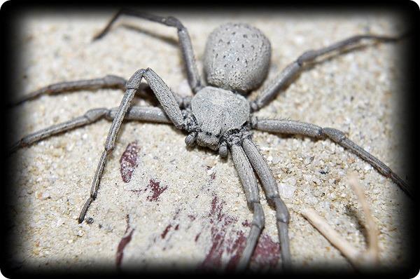 Шестиглазый песочный паук (лат. Sicarius hahni)