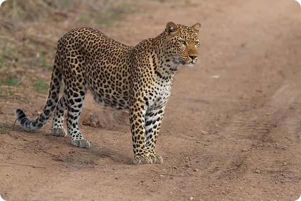 Леопард (лат. Panthera pardus)