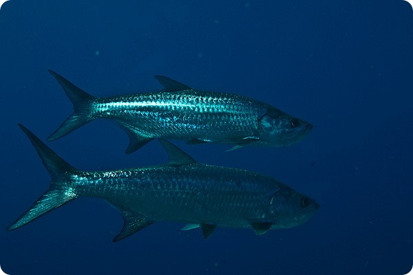 Атлантический тарпон (лат. Megalops atlanticus)