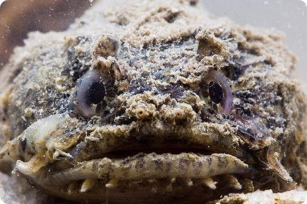 Рыба-жаба (лат. Opsanus tau)