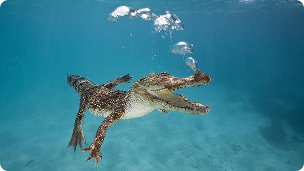 Гребнистый, или морской крокодил (лат. Crocodylus porosus)