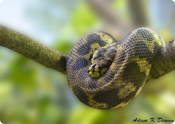 Питоны (лат. Pythonidae)