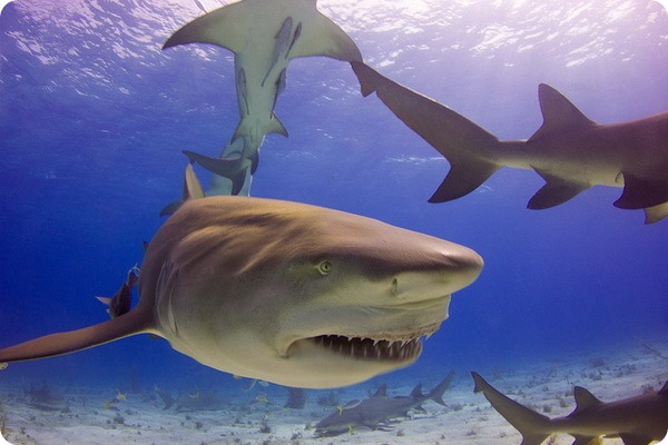Лимонные, или жёлтые акулы (лат. Negaprion brevirostris)