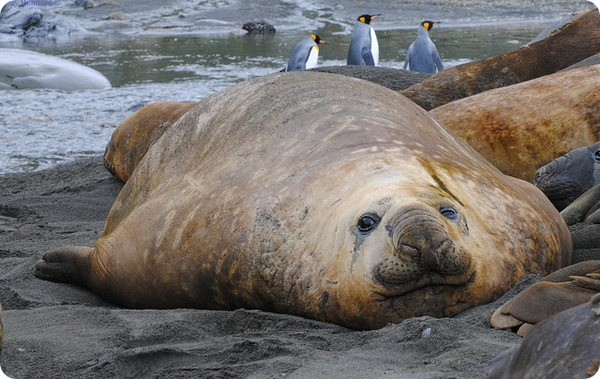 Южный морской слон (лат. Mirounga leonina)
