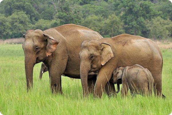 Индийский, или азиатский слон (лат. Elephas maximum)