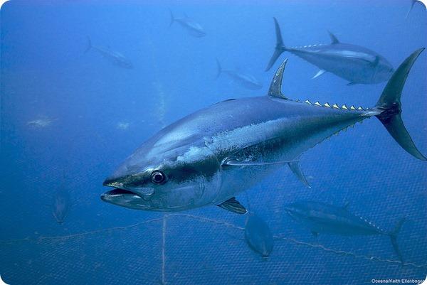 Атлантический голубой тунец (лат. Thunnus thynnus)