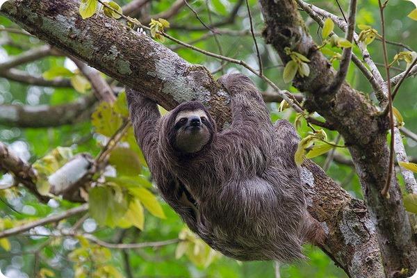 Трехпалый ленивец (лат. Bradypodidae)