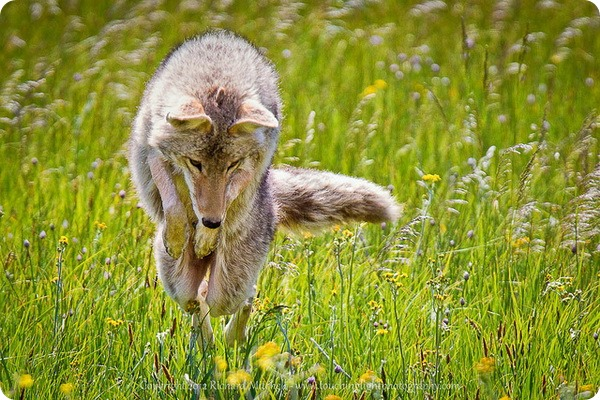 Луговые волки, или койоты (лат. Canis latrans)