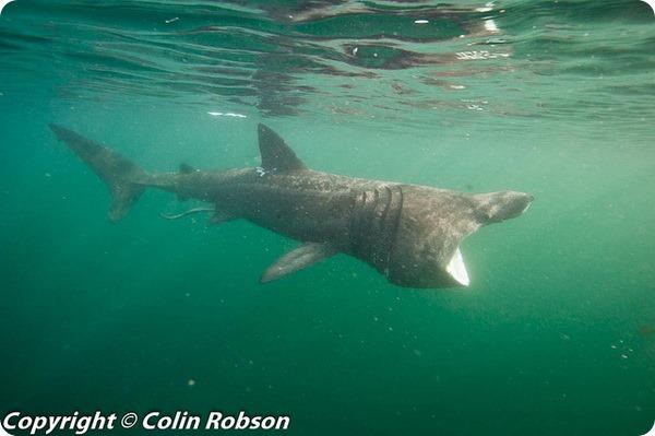 Исполинская, или гигантская акула (лат. Cetorhinus maximus)