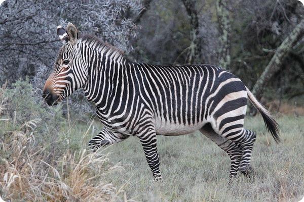 Горная зебра (лат. Equus zebra)