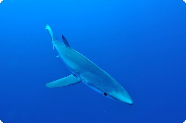 Мокой, или голубая, или синяя акула (лат. Prionace glauca)