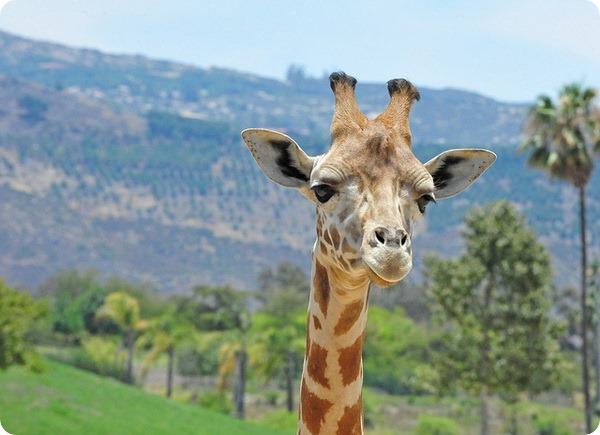 Жираф (лат. Giraffa camelopardalis)